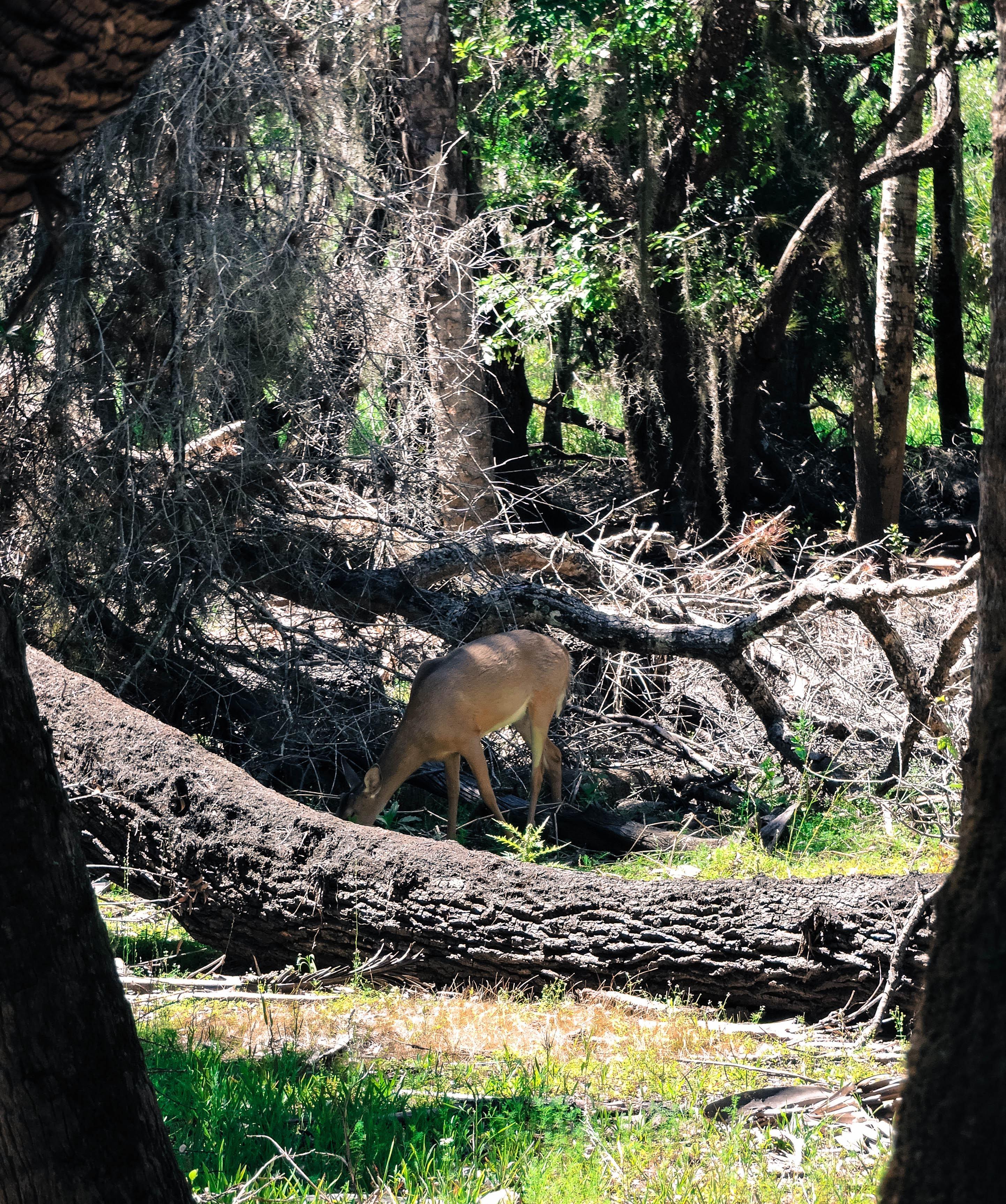 Deer in Myakka