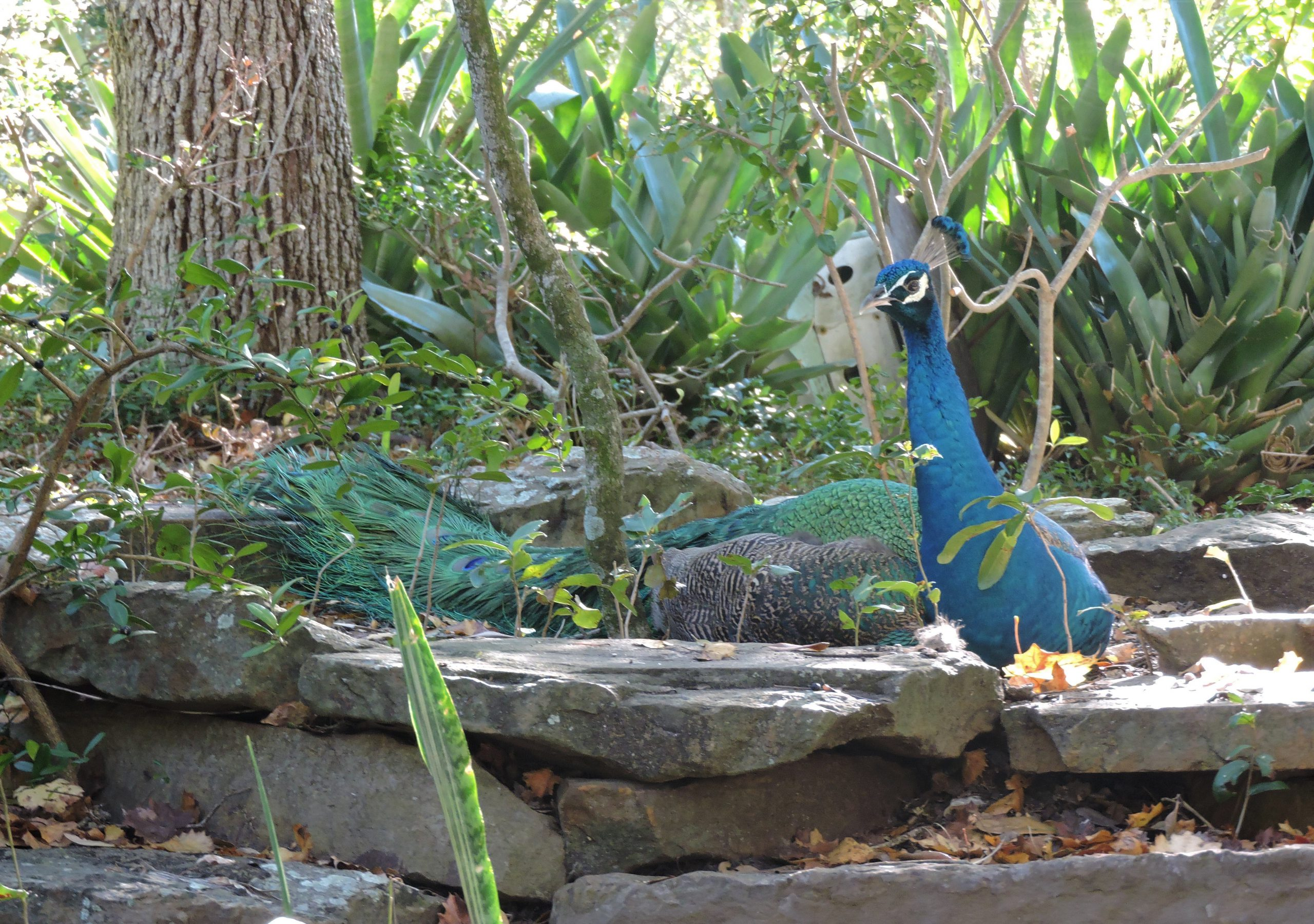 Peacock at Jungle Prada Grounds