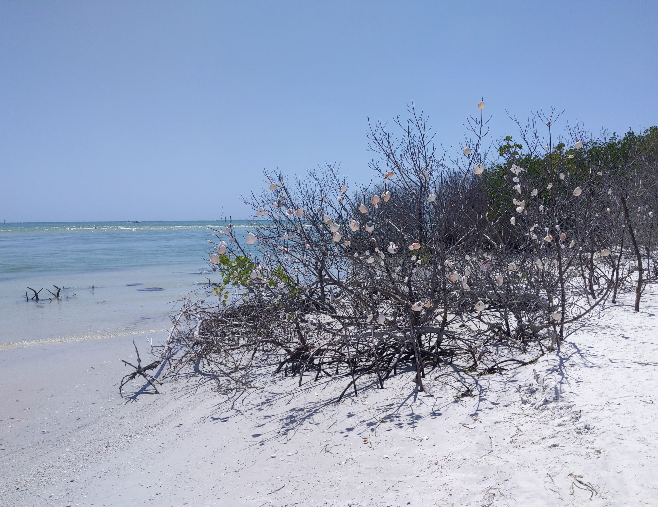 Shell Tree at Shell Key Preserve